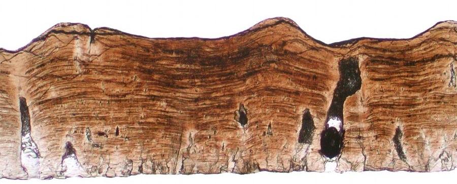 5c5f4201d8a4e_hadrosaur.eggshell.devils.coulee.xsect.PPL-Copy.jpg.c0ed5771d9b9b50356165b79cb1ff125.jpg