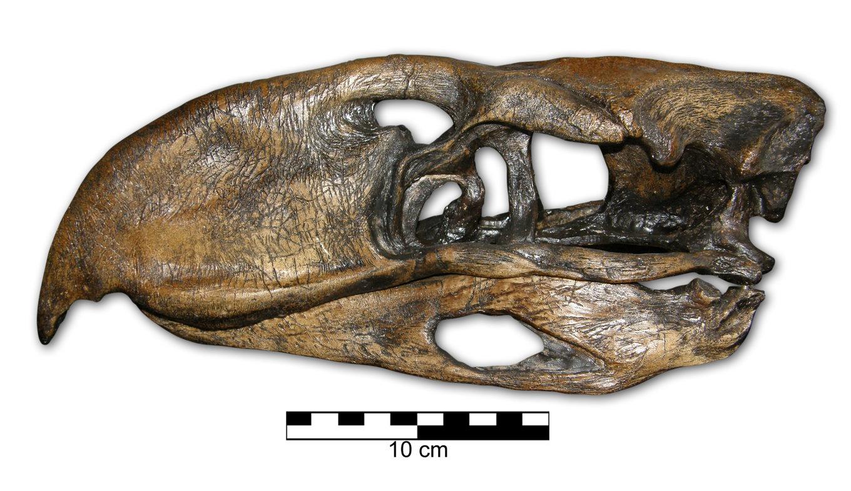 Phorusrhacos_skull01.thumb.jpg.e75a2f14b12556006d1b749539e47454.jpg