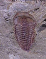 Yunnanocephalus yunnnanensis