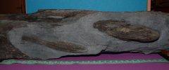 Ectillaenus Giganteus and Eodalmanitina sp association - La Dominelais