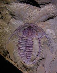 Eoredlichia intermedia
