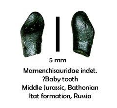Mamenchisaurid sauropod tooth
