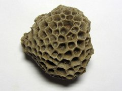 Hexagonaria quadrigemina (Goldfuss 1820)
