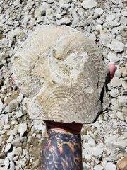Pachydiscus Ammonite Wit Inoceramid