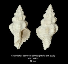 Calotrophon ostearum conradi