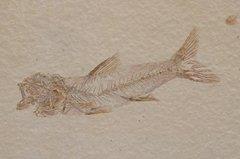 Amphiplaga brachyptera COPE, 1877