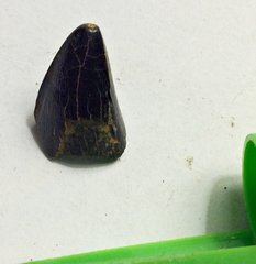 Juvenile Mosasaur Tooth from Ramanessin Brook