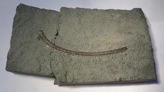 Ichthyosaur rib