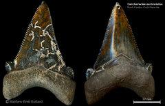 Carcharocles (Otodus) auriculatus 04