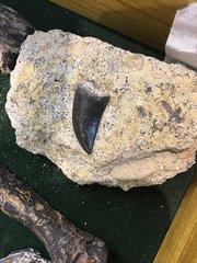 Allosaurus tooth