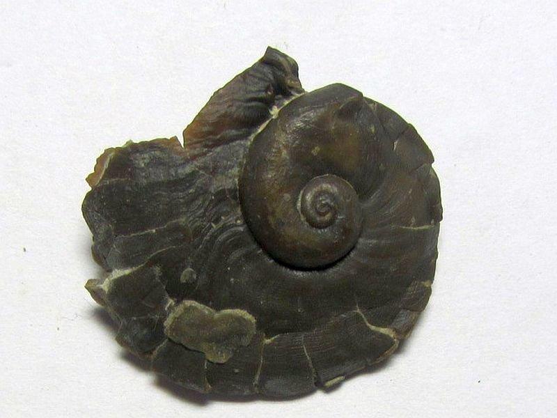 Naticonema lineata (Conrad 1842)