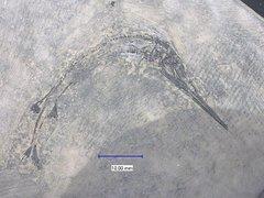 Sinosaurichthys minuta WU et al, 2011