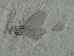 Chrysopilus sp.