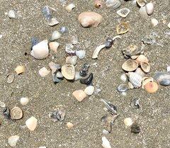 Beach Shark Tooth