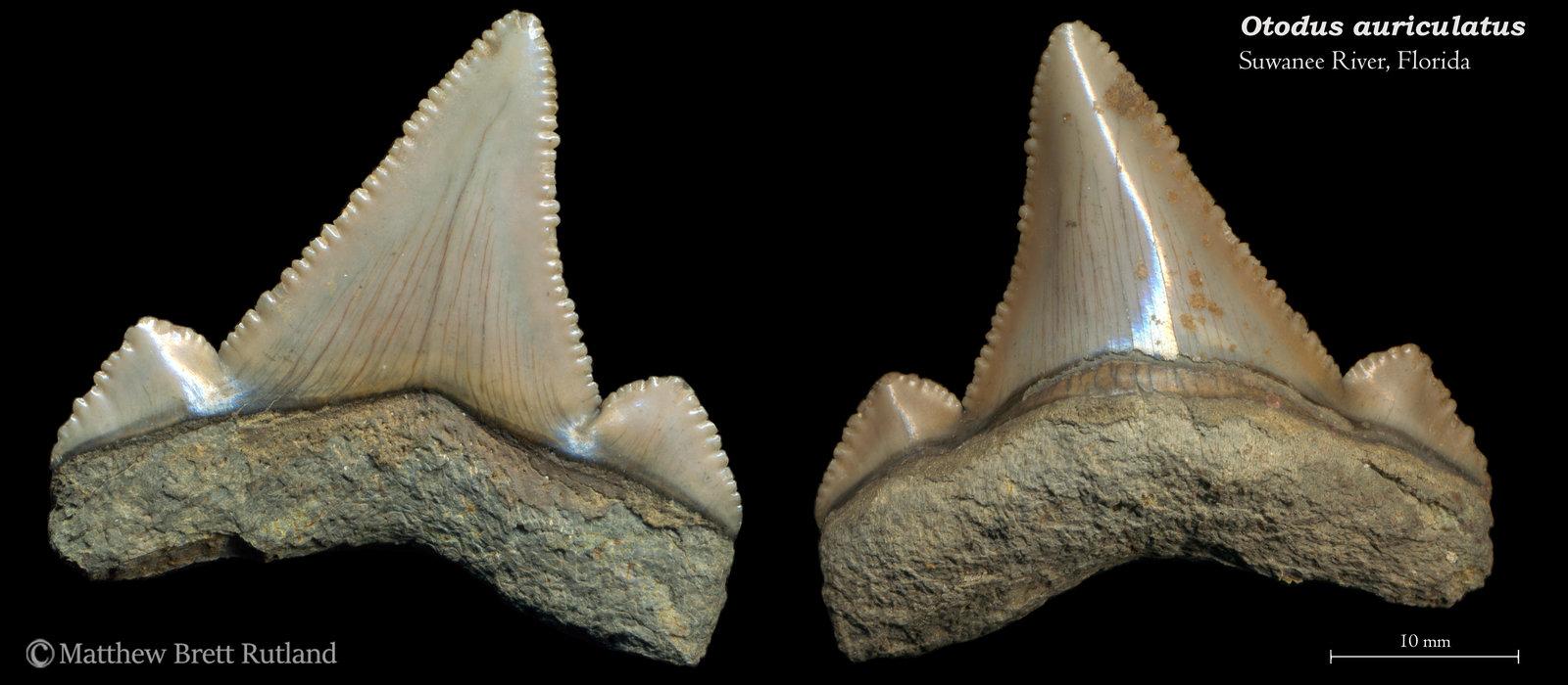 Otodus auriculatus 06