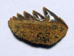 Notorhynchus primigenius (Agassiz 1843)