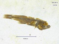 Pantanodon cephalotes (Agassiz) 1839