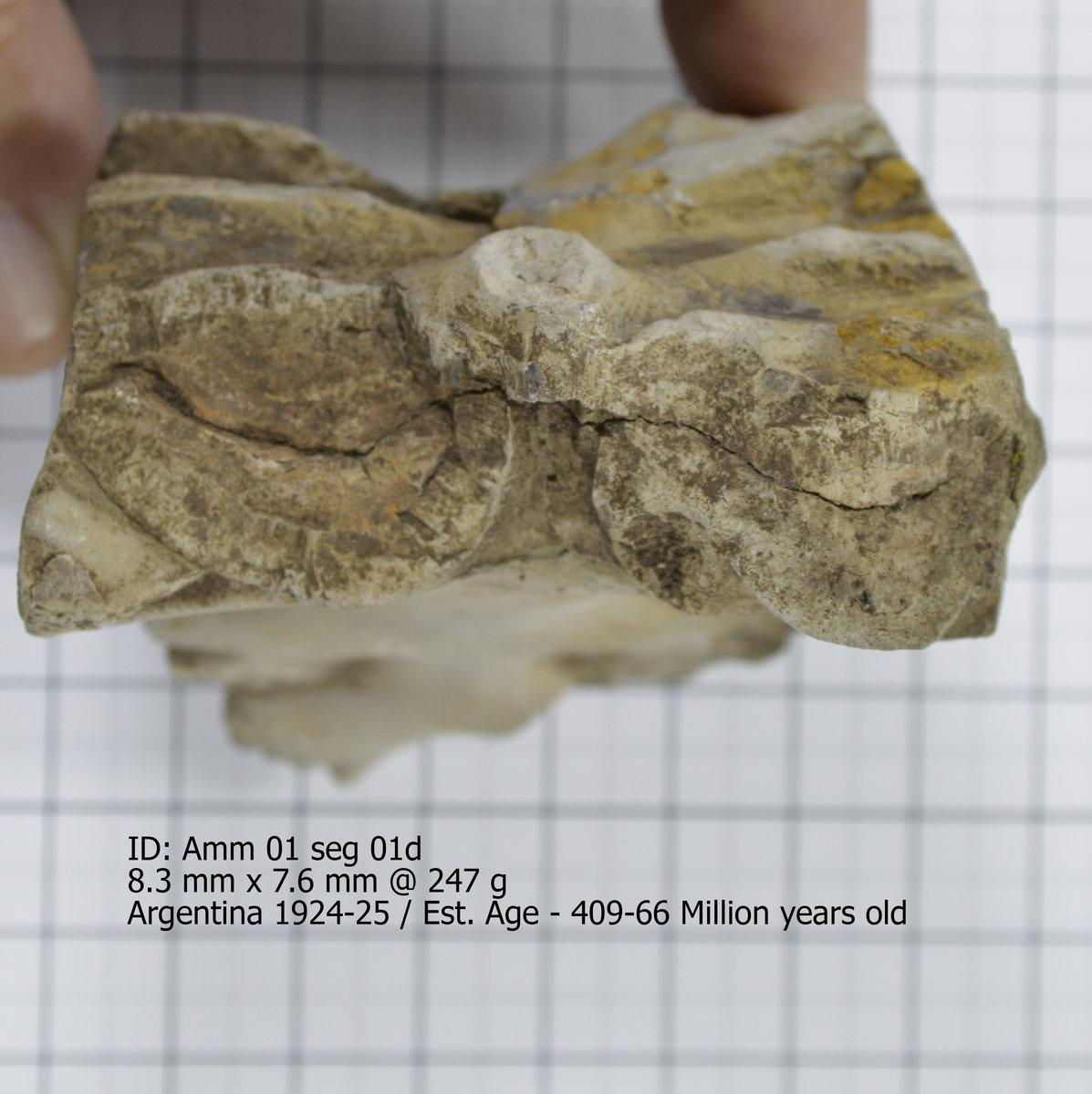 Ammonite 02 seg 01d.jpg