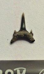 Sand Tiger Shark Tooth from Calvert Cliffs