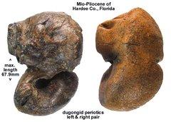 dugongid periotics