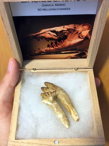 3_basilasaurus_tooth_by_tyrantking169_ddkvgn3-pre.jpg