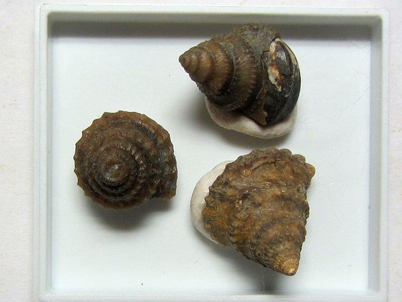 Amphytrochus subduplicatus (Schlotheim 1820)