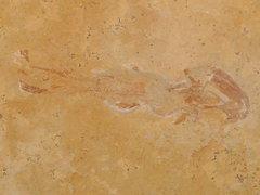 Coccoderma nudum, a coelacanth