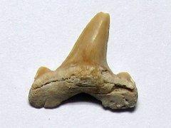 Striatolamia macrota (Agassiz 1843)