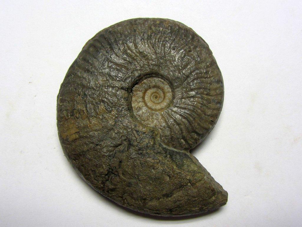 5dea950f38cc7_Ludwigia(Pseudographoceras)umbilicata.b.thumb.jpg.57c1fe83fc13dd83510ed69328d48b02.jpg