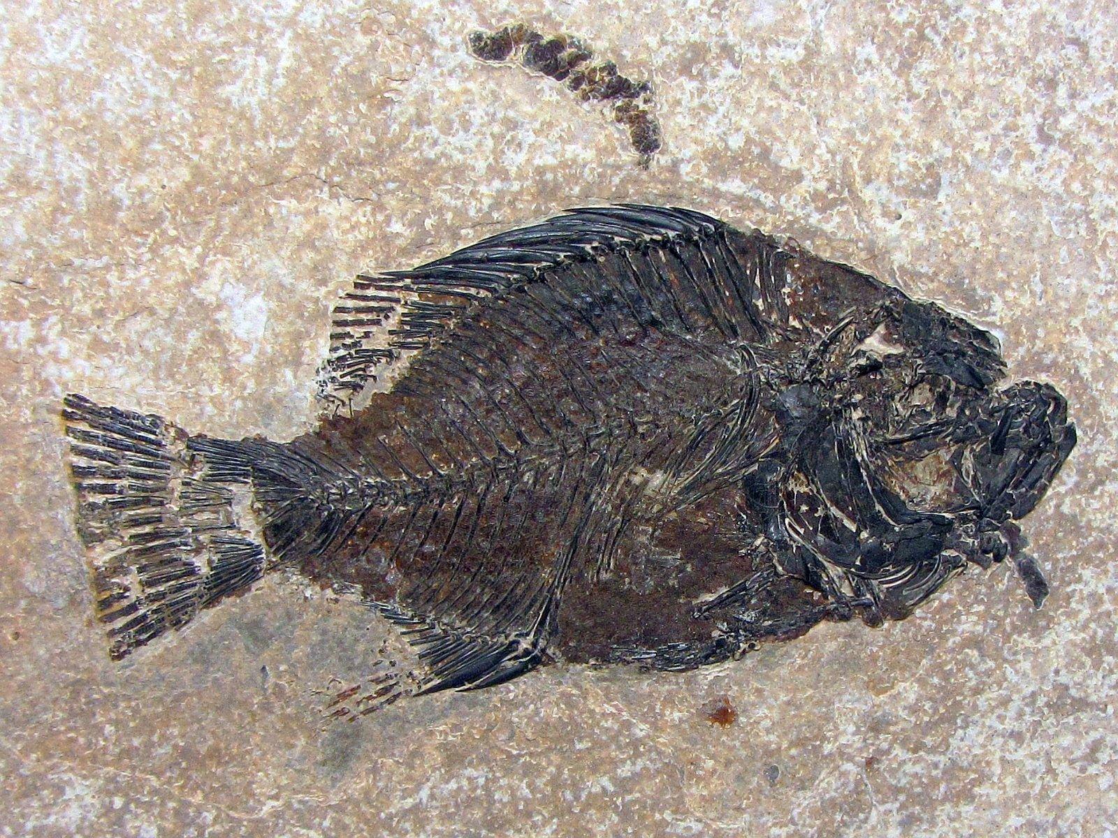 Cockerellites liops (Cope 1877)