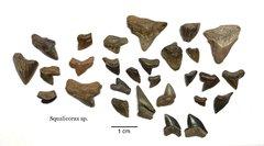 Squalicorax sp. Shark Teeth