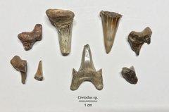 Cretodus sp. Shark Teeth