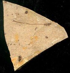 Anenchelum glarisianum de Blainville 1818