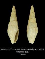 Costoanachis clavatula