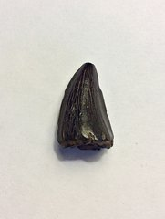 Mosasaur Tooth from Ramanessin