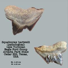 Squalicorax hartwelli (Pathological)