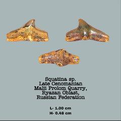 Squatina sp.