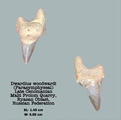 Dwardius woodwardi (Parasymphyseal)