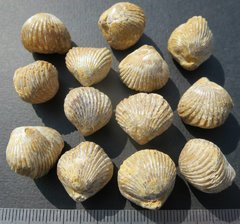 Kallirhynchia cf. yaxleyensis (Davidson) Sarthe.jpg