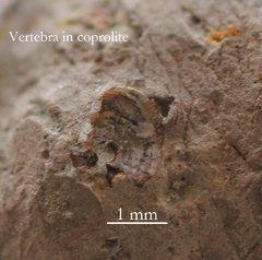 Coprolite with vertebra