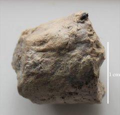 Paralbula casei tooth