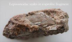 Lepisosteidae scale in coprolite