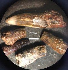 sawfish rostral teeth