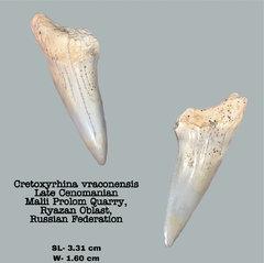 Cretoxyrhina vraconensis