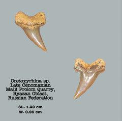 Cretoxyrhina sp.