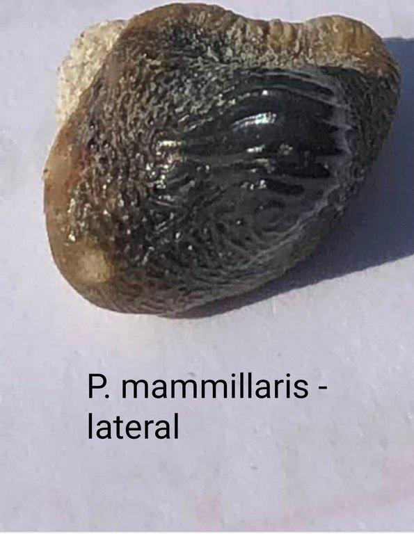 P_mammillaris1.jpg