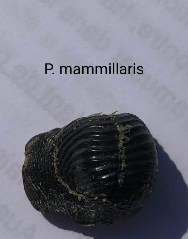 P_mammillaris2.jpg