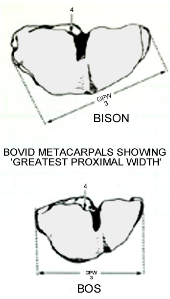 bovid_metacarpal_greatestproximalwidth.JPG