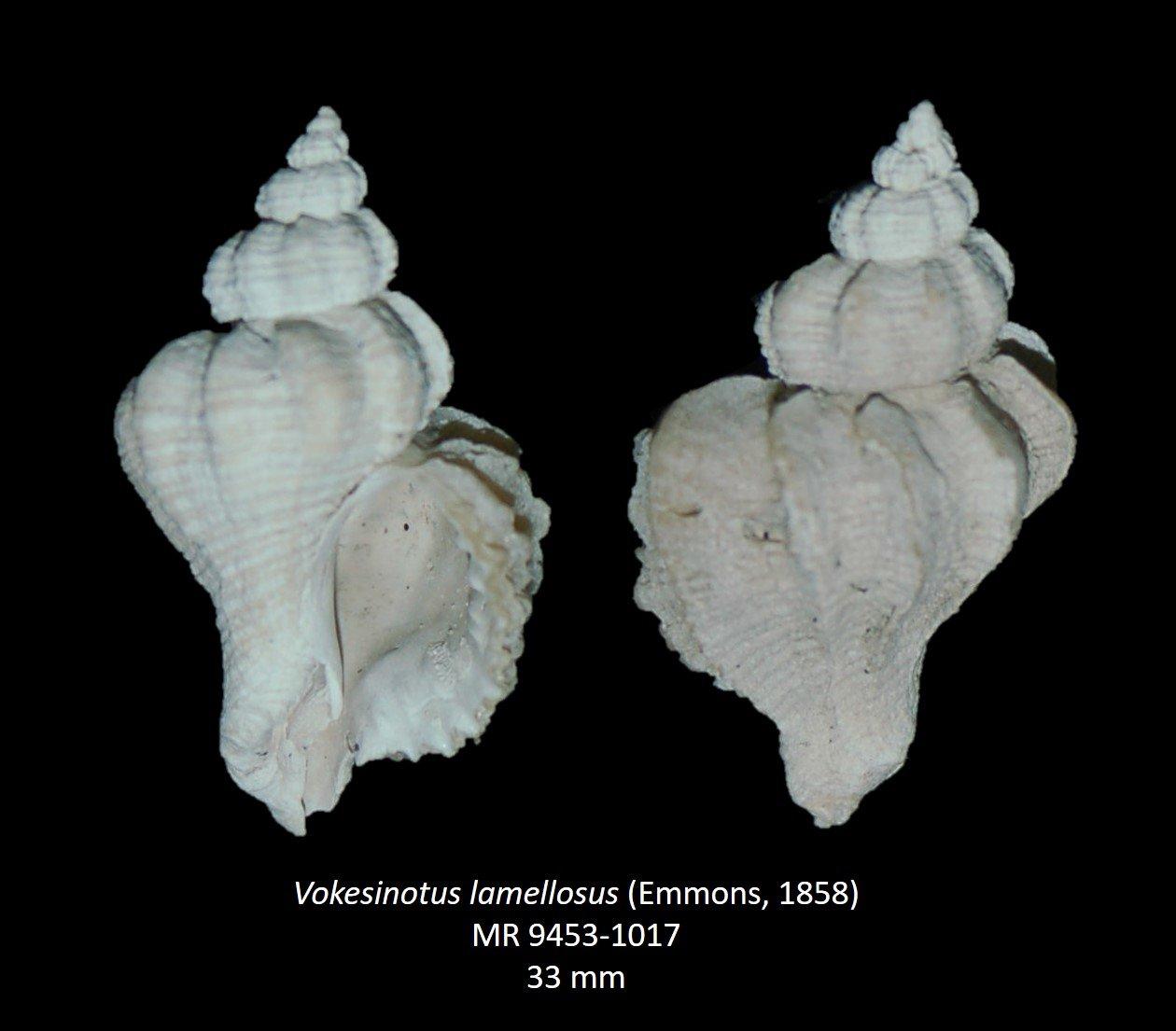 Vokesinotus lamellosus