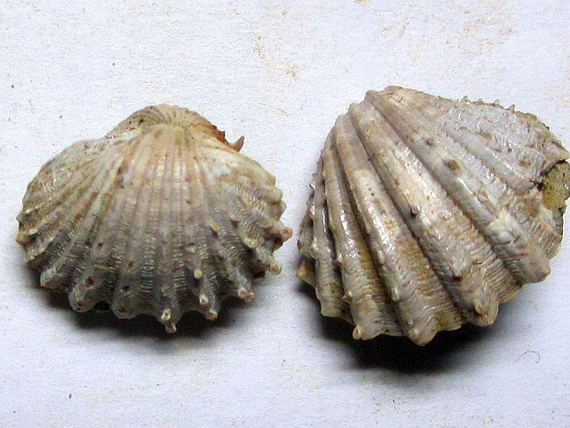 Acanthocardia paucicostata (Sowerby 1839)